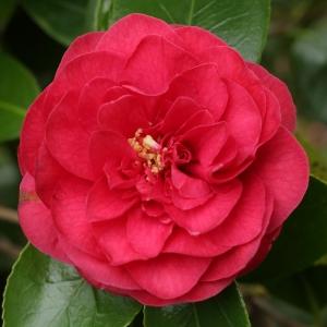 Camellia japonica 'Spring Triumph'