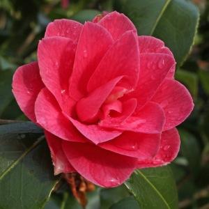 Camellia japonica 'Star Shadow'