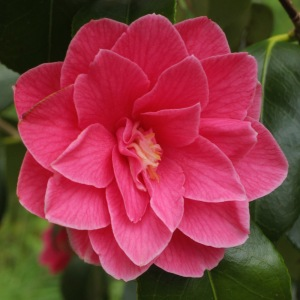 Camellia japonica 'Star Shadow'