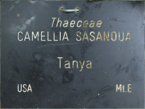 Camellia sasanqua 'Tanya'
