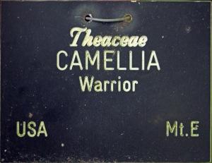 Camellia japonica 'Warrior'