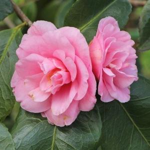 Camellia hybrid 'Wirlinga Ruffles'