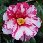 Camellia cv. unknown