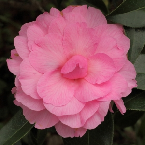 Camellia x williamsii 'Galaxie'