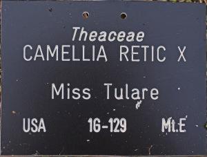 Camellia hybrid 'Miss Tulare'