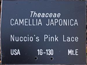 Camellia japonica 'Nuccios Pink Lace'