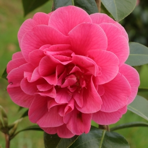 Camellia jaonica 'Waltz Time'