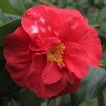 Camellia japonica 'Adolphe Audusson Variegated'