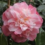 Camellia japonica 'Annie Wylam' (1K-003)