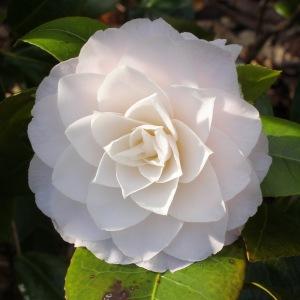 Camellia japonica 'Commander Mulroy'