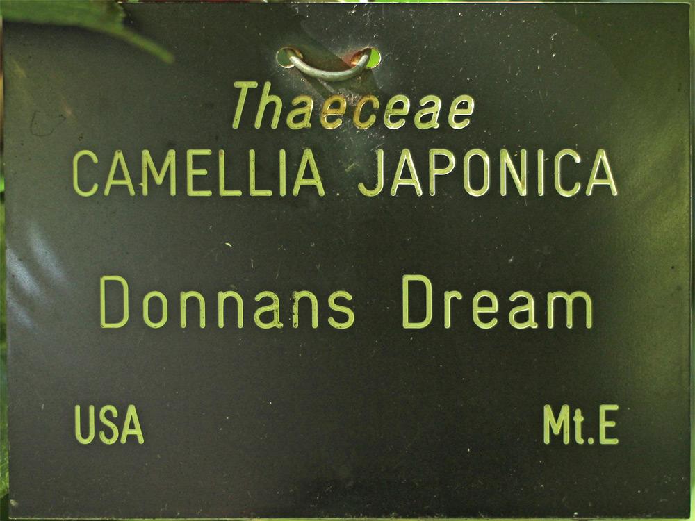 Camellia japonica 'Donnan's Dream'
