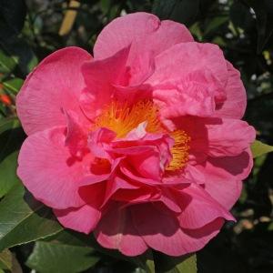 Camellia 'Fire'n'Ice'