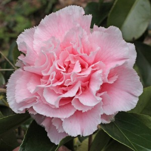 Camellia japonica 'Hawaii'