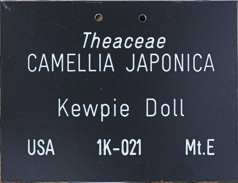 Camellia japonica 'Kewpie Doll'
