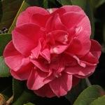 Camellia japonica 'Lady Erma'