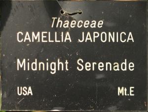 Camellia japonica 'Midnight Serenade'