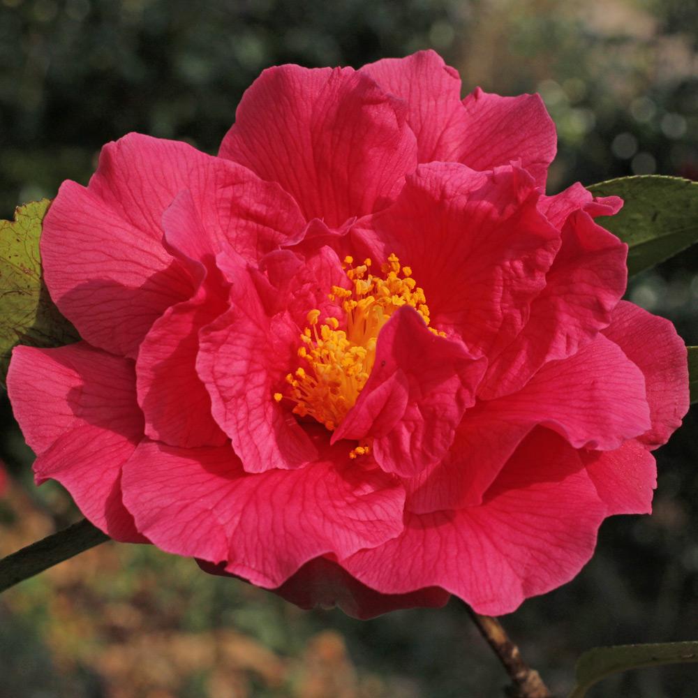 Camellia 'Milo Rowell'
