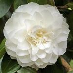 Camellia japonica 'Primavera'