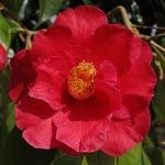 Camellia 'Royalty'