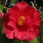 Camellia 'Royalty'