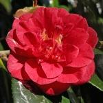 Camellia japonica 'Saturnia'