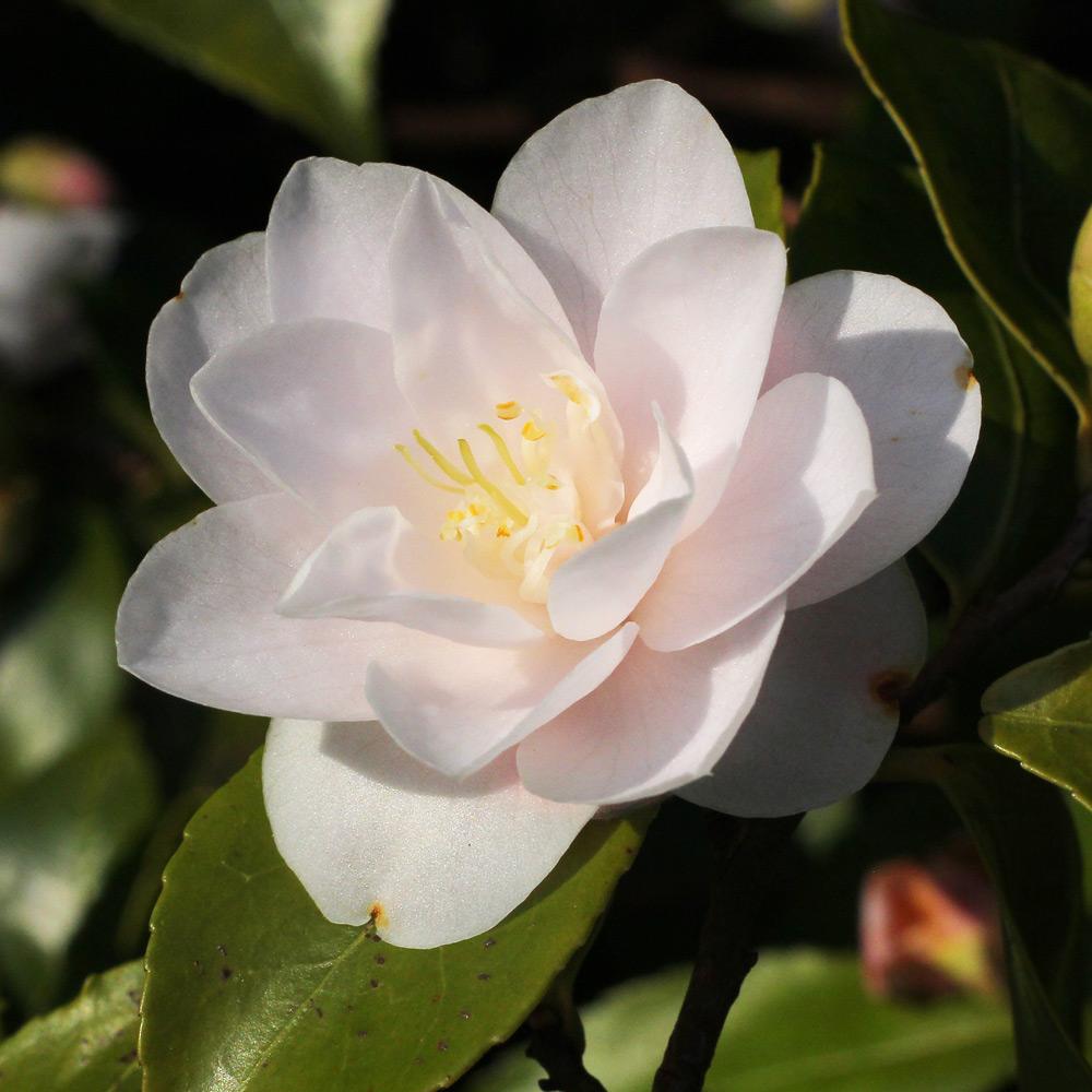 Camellia 'Spring Mist'