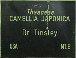 Camellia japonica 'Dr Tinsley'