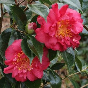 Camellia japonica 'Angela Cocchi'