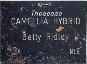 Camellia x williamsii 'Betty Ridley'