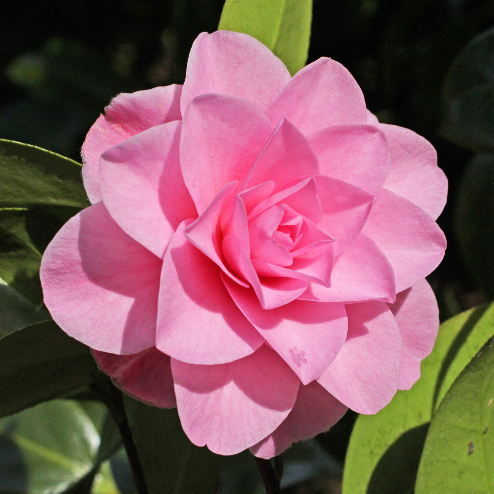 Camellia x williamsii 'Betty Ridley'