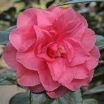 Camellia japonica 'Betty Sheffield Pink'