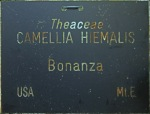 Camellia x hiemalis 'Bonanza'