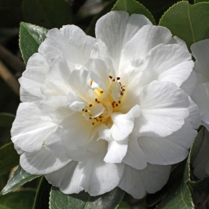 Camellia x williamsii 'Bridal Gown'
