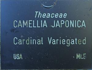 Camellia japonica 'Cardinal Variegated'