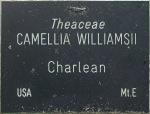 Camellia x williamsii 'Charlean'