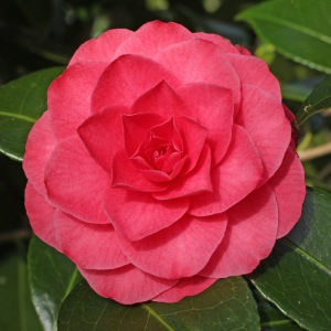 Camellia japonica 'Cheerful'