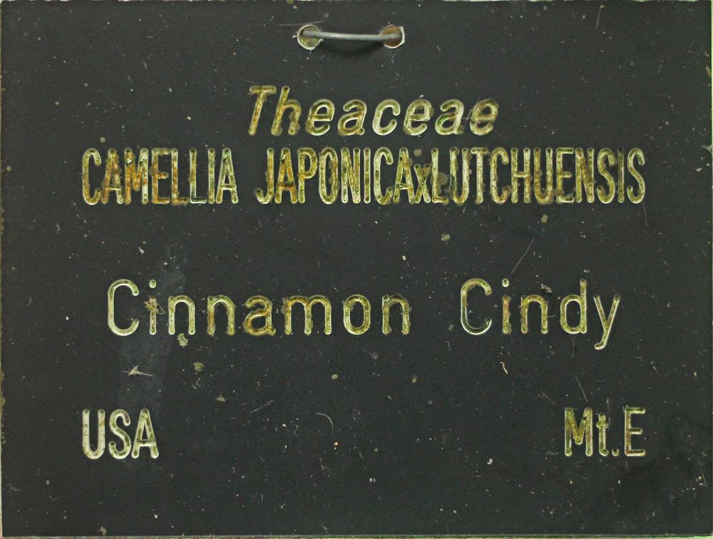 Camellia hybrid 'Cinnamon Cindy'