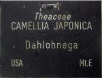 Camellia japonica 'Dahlonega'