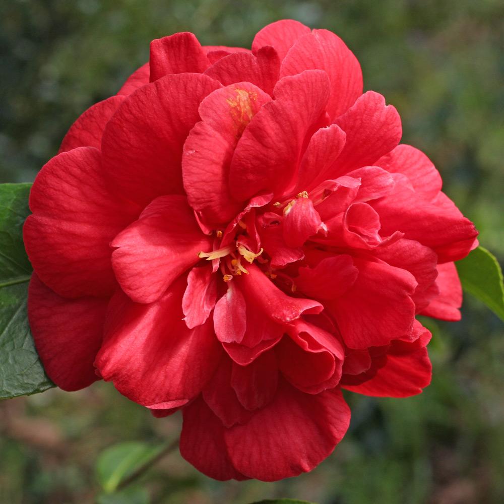 Camellia japonica 'Dixie Knight'