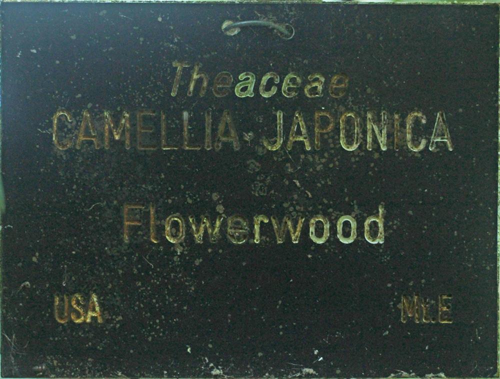 Camellia japonica 'Flowerwood'