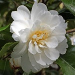 Camellia japonica 'Frosty Morn'