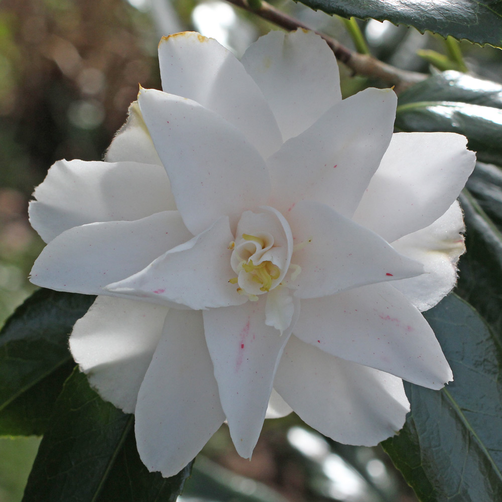 Camellia japonica 'Geisha Girl'