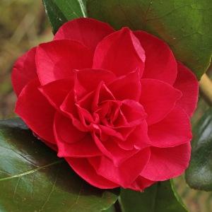Camellia japonica 'Granada'