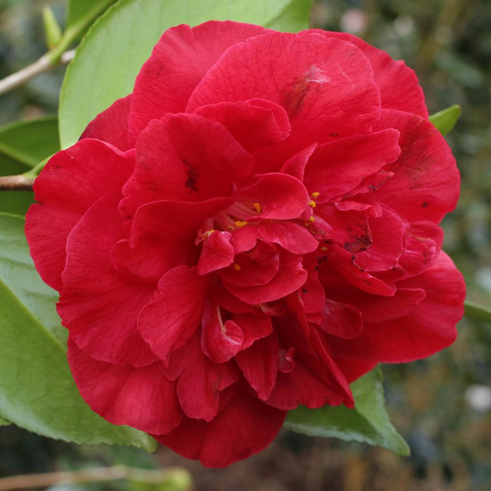 Camellia japonica 'Grand Prix'