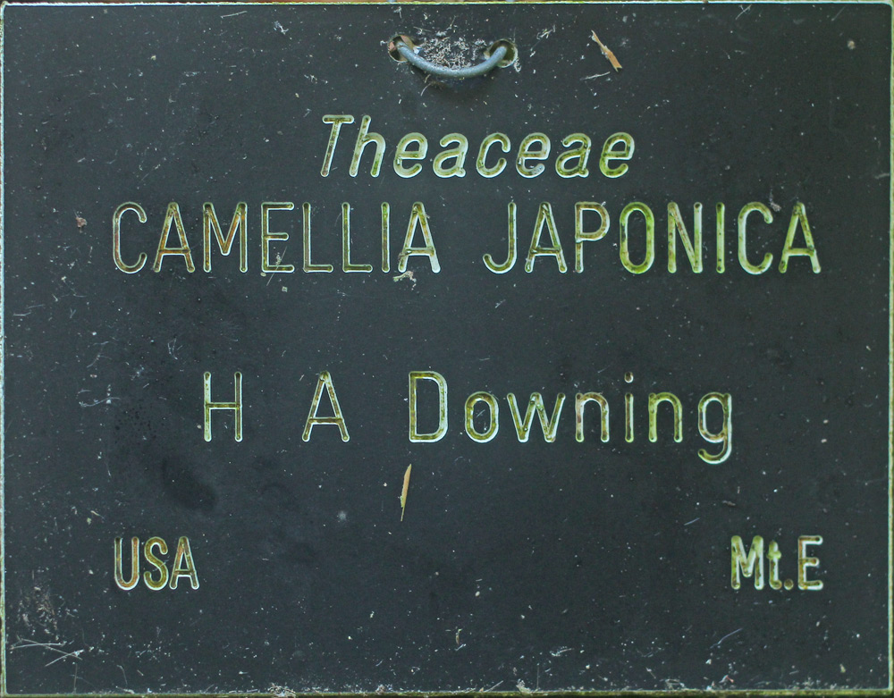Camellia japonica 'H.A. Downing'