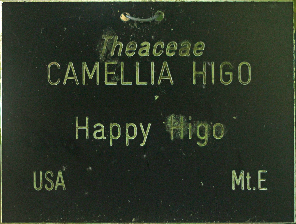 Camellia japonica 'Happy Higo'