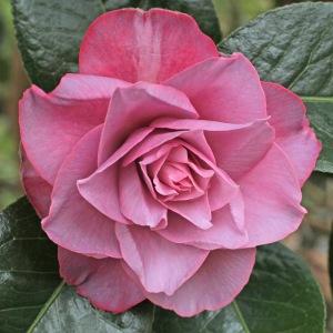 Camellia x williamsii 'Joe Nuccio'