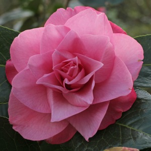 Camellia x williamsii 'Joe Nuccio'