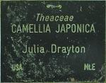 Camellia japonica 'Julia Drayton'