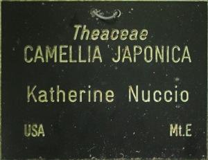 Camellia japonica 'Katherine Nuccio'